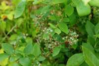 Heidelbeere Goldtraube • Vaccinium corymbosum Goldtraube