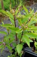 Großer Garten-Wasserdost • Eupatorium fistulosum Atropurpureum