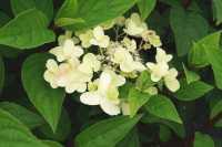 Rispenhortensie Wims Red • Hydrangea paniculata Wims Red