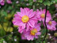Garten Herbst Anemone • Anemone japonica Pamina