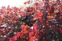 Fächerahorn Fireglow • Acer palmatum Fireglow