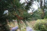 Zirbelkiefer • Pinus cembra