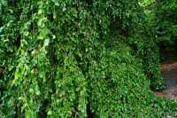 Hängebuche • Fagus sylvatica Pendula