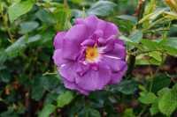 Rose Rhapsody in Blue • Rosa Rhapsody in Blue