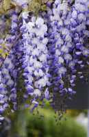 Blauregen • Wisteria sinensis