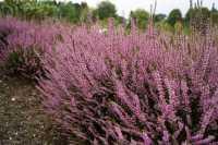 Besenheide Marleen • Calluna vulgaris Marleen