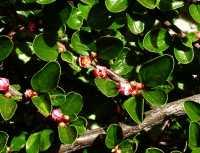 Fächer-Zwergmispel • Cotoneaster horizontalis