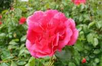 Rose Charmant ® • Rosa Charmant ®