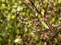 Gefüllter Sternstrauch • Deutzia scabra Plena