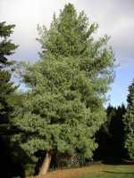 Tränenkiefer • Pinus wallichiana