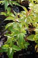 Gewöhnlicher Wasserdost • Eupatorium cannabinum