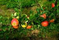 Apfelbaum Topaz • Malus Topaz