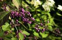 Schönfrucht Profusion • Callicarpa bodinieri Profusion