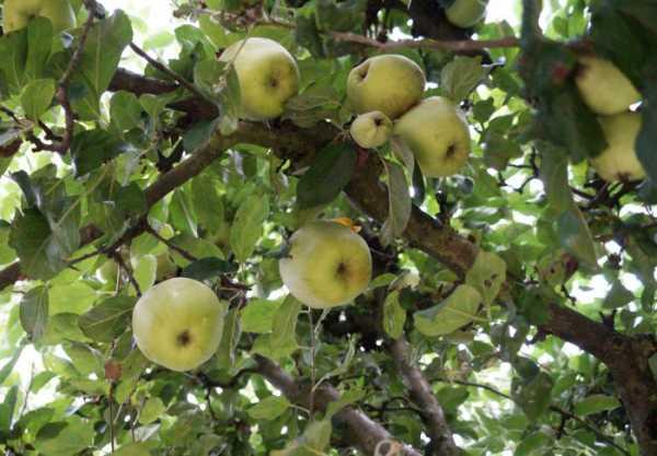 Apfelbaum Finkenwerder Herbstprinz • Malus Finkenwerder Herbstprinz