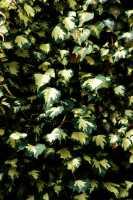 Gold-grüner Efeu • Hedera Helix Goldheart