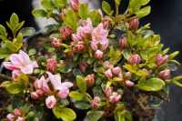 Rhododendron Kermesina Rose • Rhododendron obtusum Kermesina Rose