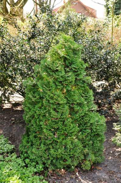 Lebensbaum Holmstrup • Thuja occidentalis Holmstrup