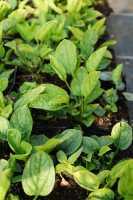 Garten-Frühlings-Gedenkemein Alba • Omphalodes verna Alba