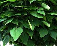 Kugel Trompetenbaum • Catalpa bignonioides Nana