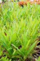 Kardendistel • Dipsacus sylvestris fullonum