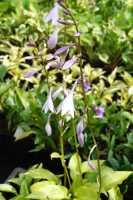 Duftende Garten-Lilien-Funkie Royal Standard • Hosta plantaginea Royal Standard