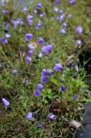 Rundblättrige Glockenblume • Campanula rotundifolia Olympica