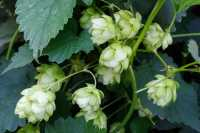 Wilder Hopfen • Humulus lupulus