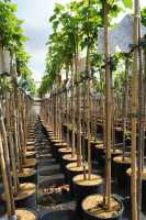 Schwarze Johannisbeere Ben Sarek • Ribes nigrum Ben Sarek