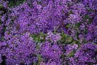 Garten-Thymian Minor • Thymus praecox Minor