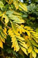 Gemeine Esche • Fraxinus excelsior