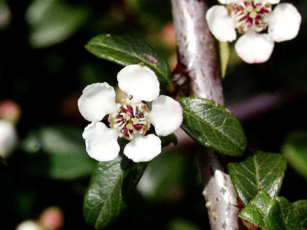 Teppichmispel Coral Beauty • Cotoneaster dammeri Coral Beauty