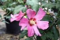Rosen-Eibisch Woodbridge • Hibiscus syriacus Woodbridge