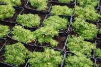 Kleines Garten Andenpolster • Azorella trifurcata Nana