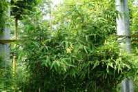 Gartenbambus Jumbo • Fargesia murieliae Jumbo