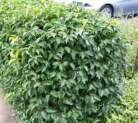 Portugiesische Lorbeerkirsche • Prunus lusitanica Angustifolia