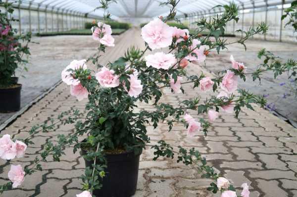 Roseneibisch Pink Chiffon • Hibiscus syriacus Pink Chiffon