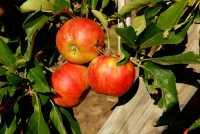 Apfelbaum Elstar • Malus Elstar