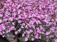 Pfingst Nelke Blauigel • Dianthus gratianopolitanus Blauigel