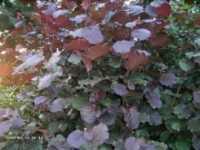 Rotblättrige Zellernuss • Corylus avellana Rotblättrige Zellernuss