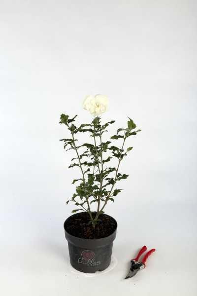 Garteneibisch White Chiffon® • Hibiscus White Chiffon®