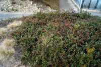 Europäische Bärentraube • Arctostaphylos uva-ursi