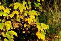 Feldahorn • Acer campestre