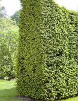 Eibe • Taxus baccata