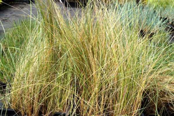Strandhafer • Ammophila arenaria
