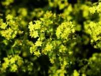 Großblättriger Frauenmantel • Alchemilla mollis
