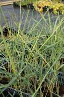 Blauer Strandhafer • Ammophila breviligulata
