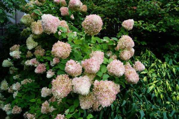 Rispenhortensie Limelight • Hydrangea paniculata Limelight