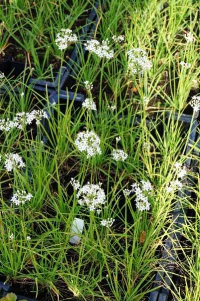 Schnittknoblauch • Allium tuberosum