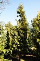 Lebensbaum Brabant • Thuja occidentalis Brabant