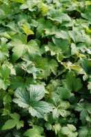 Herbstanemone • Anemone hupehensis Praecox